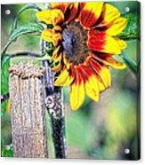 Sunflower On A Stick Acrylic Print