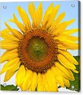 Sunflower On Blue Acrylic Print