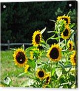 Sunflower Patch Acrylic Print by Debra     Vatalaro