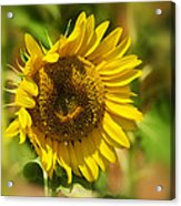 Sunflower Patch II Acrylic Print by Lisa Moore