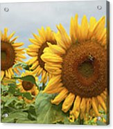 Sunflower Season Acrylic Print