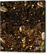 Sunflower Seedling Growth Sequence Acrylic Print