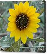 Sunflower Smile Acrylic Print by Sara  Mayer