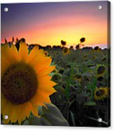 Sunflower Smoothie Acrylic Print