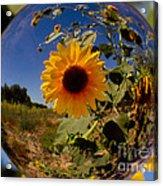 Sunflower Through A Glass Eye Acrylic Print