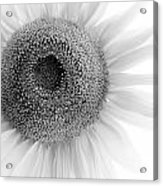 Sunflower Acrylic Print