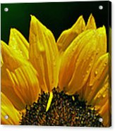 Sunflower With Drops Acrylic Print