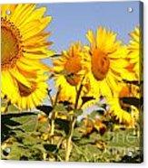 Sunflowering Acrylic Print
