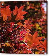 Sunlight Autumn Leaves Acrylic Print