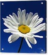 Sunlight Daisy Acrylic Print