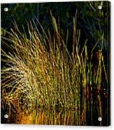 Sunlight On Grass Merritt Island Nwr Acrylic Print