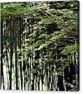 Sunlit Bamboo Acrylic Print
