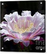 Sunlit Cactus Flower Acrylic Print