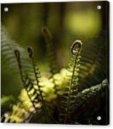Sunlit Fiddleheads Acrylic Print