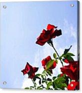 Sunlit Roses Acrylic Print