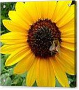 Sunny Bee Acrylic Print