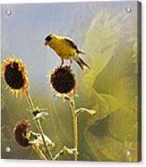 Sunny Finch Acrylic Print