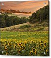 Sunrise Over Field Of Sunflowers Acrylic Print