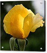 Sunrise Rosebud Acrylic Print