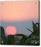 Sunset And Corn Acrylic Print