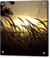 Sunset Behind Tall Grass Acrylic Print