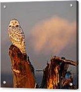 Sunset Owl Acrylic Print