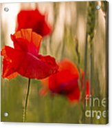Sunset Poppies. Acrylic Print
