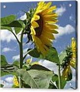 Sunshine Flowers Acrylic Print