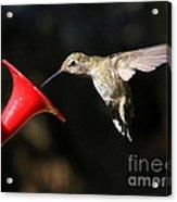 Sunshine On Hummingbird Acrylic Print