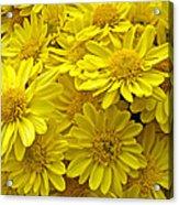 Sunshine Yellow Chrysanthemums Acrylic Print