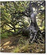 Sunstar Oak Acrylic Print