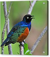 Superb Starling Acrylic Print