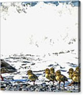 Surf Ducks Acrylic Print