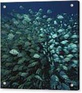 Surgeonfish  Slice Through The Coral Acrylic Print by Randy Olson
