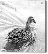 Susie Duck Acrylic Print