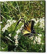 Swallow Tail  Acrylic Print