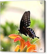 Swallowtail - Lite And Lively Acrylic Print