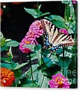 Swallowtail Among The Zinnias Acrylic Print