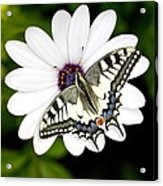 Swallowtail Butterfly Resting Acrylic Print