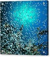 Swallowtail Cardinalfish School Acrylic Print
