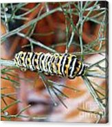 Swallowtail Caterpillar Acrylic Print