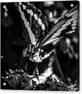 Swallowtail On Lantana Acrylic Print