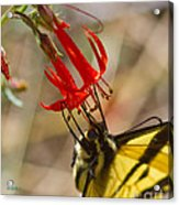 Swallowtail On Scarlet Gilia Acrylic Print