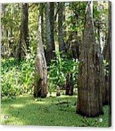 Swamp Knees Acrylic Print