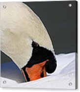 Swan - Soft And Fluffy Acrylic Print