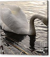 Swan Along The Shore Acrylic Print