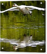 Swan Ascent Acrylic Print