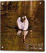 Swan At Susan Lake Acrylic Print