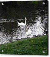 Swan Couple Acrylic Print