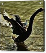 Swan Dance 2 Acrylic Print